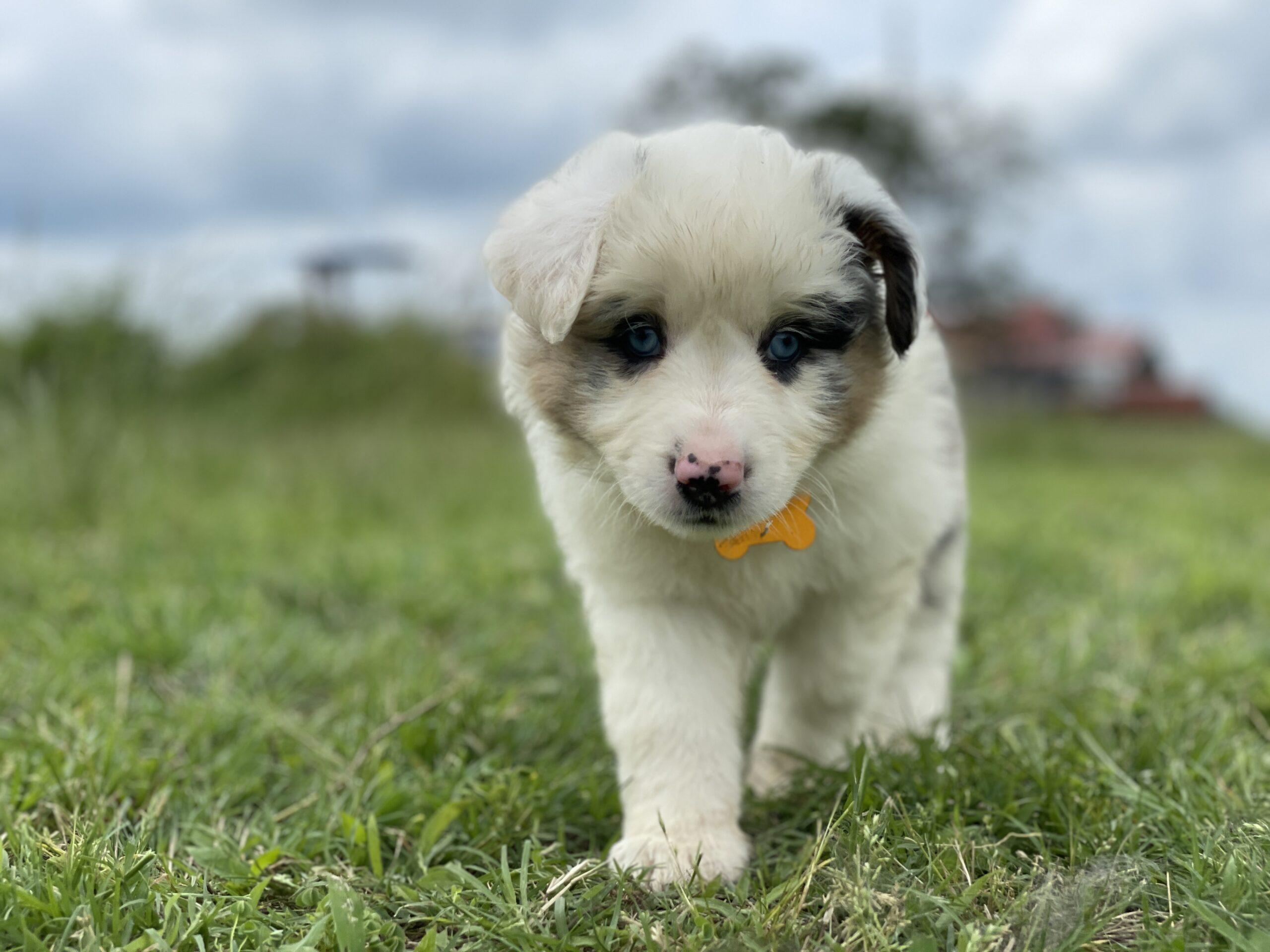 *DEAF* Blue Merle Mini Aussie – TIFF